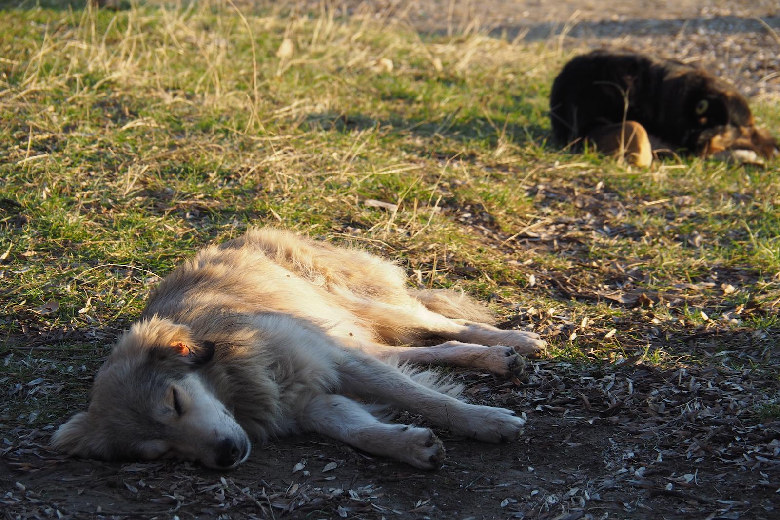 Zwei streunden Hunde pennen in der Sonne