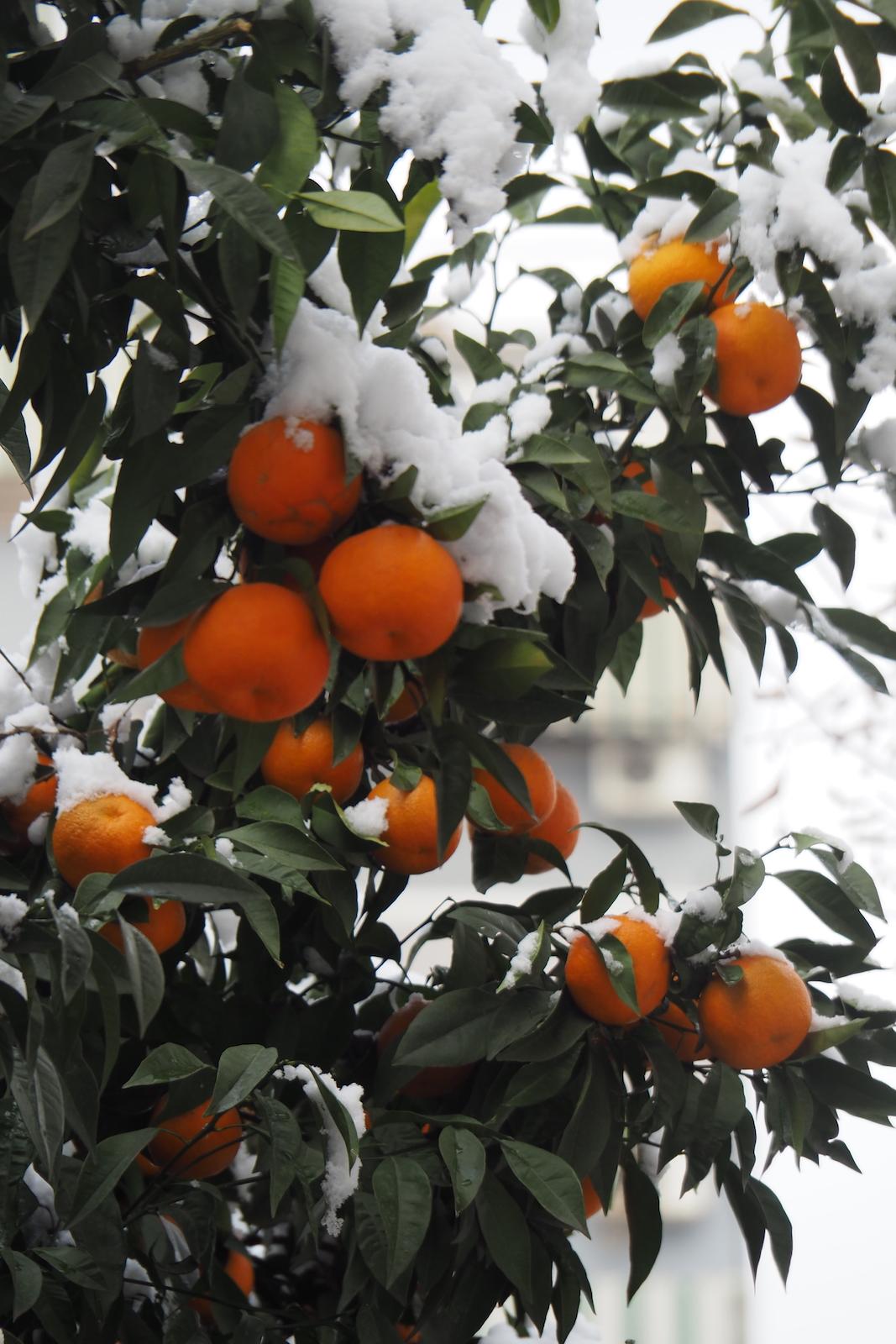 Mandarinen mit Schnee bedeckt